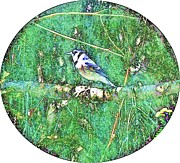 Bluejay Metal Prints - Blue Jay 8 Metal Print by Dave Dresser
