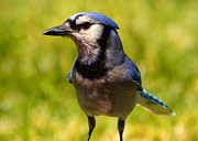 Blue Jay Digital Art - Blue Jay after a Fight by Bill Tiepelman