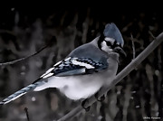 On A Branch Paintings - Blue Jay At Night by Debra     Vatalaro
