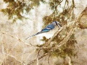 Pine Pyrography Prints - Blue Jay Print by Cassie Peters