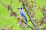Bluejay Photo Framed Prints - Blue Jay Framed Print by Deborah Benoit