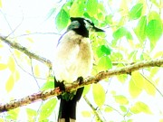 Bluejay Metal Prints - Blue Jay III Metal Print by Clarice  Lakota
