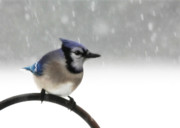 Lori Deiter Photos - Blue Jay in a Blizzard by Lori Deiter