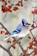 Blue Jays Prints - Blue Jay in Snowfall 3 Print by Betty LaRue