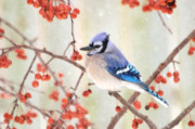 Blue Jays Prints - Blue Jay in Snowfall Print by Betty LaRue