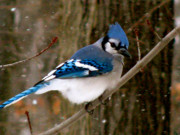 Blue Jay In The Snow Print by Debra     Vatalaro