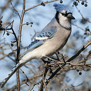 Nikon Metal Prints - Blue Jay.. Metal Print by Nina Stavlund