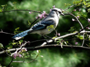 Red Bud Posters - Blue Jay on Red Bud Tree Poster by David Bearden