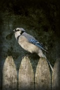 Cards Vintage Framed Prints - Blue Jay On The Fence Framed Print by Angie McKenzie