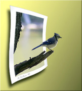 Blue Jay Picture Framed Prints - Blue Jay Perched Framed Print by Brian Wallace