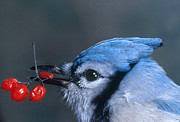 Bittersweet Art - Blue Jay by Photo Researchers, Inc.