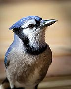 Bluejay Metal Prints - Blue Jay Portrait Metal Print by Al  Mueller