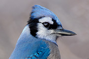 Michel Soucy Photos - Blue Jay portrait by Michel Soucy