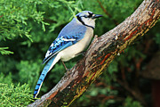 Bluejay Metal Prints - Blue Jay Posing Metal Print by Paul Eldred