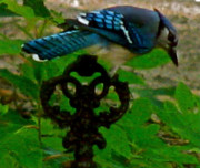 Pretty Colored Bird Photos - Blue Jay Spindel by Debra     Vatalaro