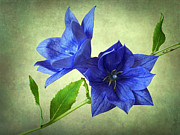 Balloon Flower Art - Blue by John Burnett