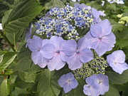Blue Lacecap Hydrangea Print by Kate Gallagher
