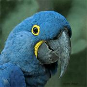 Tropical Bird Art Posters - Blue Macaw 2 Poster by Larry Linton