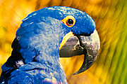Sao Paulo Framed Prints - Blue Macaw Framed Print by Daniel B Begiato