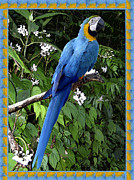 Parrot Metal Prints - Blue Macaw Metal Print by Kurt Van Wagner