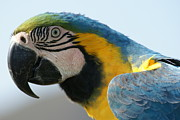 Blue And Yellow Macaw Prints - Blue Macaw Print by Ruth Collis