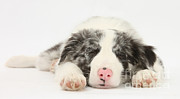 Sleeping Dog Prints - Blue Merle Border Collie Pup Print by Mark Taylor