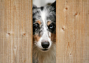 Peaking Prints - Blue merle sheltie Print by Kati Molin