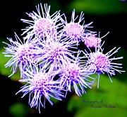 Signed Digital Art Posters - Blue Mistflower Ageratum  Poster by Suzanne  McClain