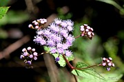 Signed Digital Art Posters - Blue Mistflower Clusters II Poster by Suzanne  McClain