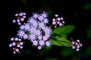 Signed Digital Art Posters - Blue Mistflower Clusters Poster by Suzanne  McClain