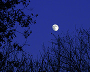 Blue Moon Photos - Blue Moon Among The Tree Tops by Andee Photography