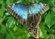 Blue Morpho Butterflies Print by Sabrina L Ryan