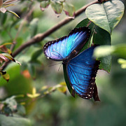 Vibrant Colors Prints - Blue Morpho Butterfly Print by Glennis Siverson