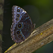 Nikon Metal Prints - Blue Morpho.. Metal Print by Nina Stavlund