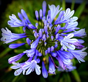 Blue Flowers Photos - Blue On Blue by Karen Wiles