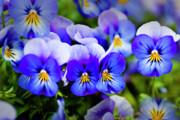 Tamyra Ayles - Blue Pansies