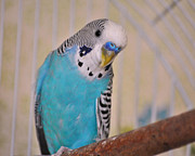 Jai Johnson Prints - Blue Parakeet Print by Jai Johnson