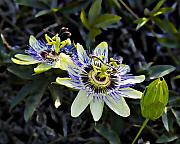 Unique Flowers Framed Prints - Blue Passion Flower Framed Print by Kelley King