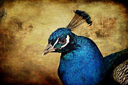 Animals Metal Prints - Blue Peacock Metal Print by Angela Doelling AD DESIGN Photo and PhotoArt