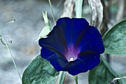 Petunia Photos - Blue Petunia 1 by Douglas Barnett