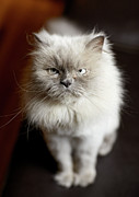 Animal Hair Prints - Blue Point Himalayan Cat Looking Irritated Print by Matt Carr