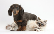 Felis Domesticus Prints - Blue-point Kitten & Dachshund Print by Mark Taylor
