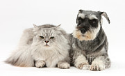 Felis Domesticus Posters - Blue-point Kitten & Miniature Schnauzer Poster by Mark Taylor