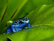 Anuran Art - Blue Poison Dart Frog by Dennis Flaherty and Photo Researchers