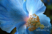 Floral Prints Framed Prints - Blue Poppy Framed Print by Carol Groenen
