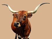 Longhorn Photo Acrylic Prints - Blue Ribbon Pose Acrylic Print by Betty Northcutt