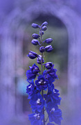 Delphinium Photos - Blue by Richard Cummings