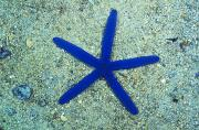 Fiji Prints - Blue Sea Star Or Starfish On Sand Print by James Forte