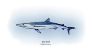 Game Fish Drawings Framed Prints - Blue Shark  Framed Print by Ralph Martens
