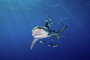 Shark Photos - Blue Shark With Pilot Pish by James R.D. Scott